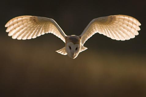 hawkconservancy owl 477x318